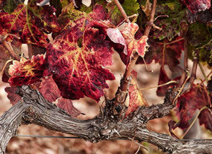 Fall Grapes, Rancho La Bellota, Eileen Mandell